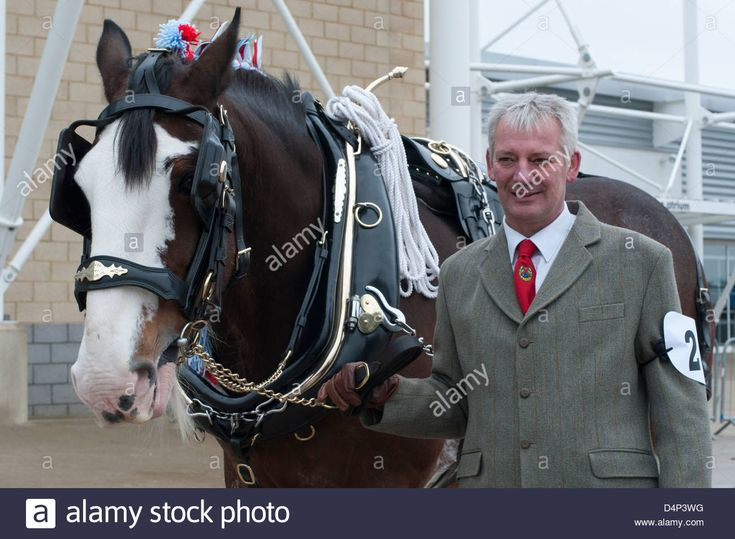 Shire Horse Society Show,Peterborough,England,March 2013. Traditional Glory of the heavy horse compete in the Shire Horse Show. Stock Photo