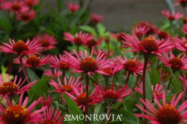 Monrovia's Burgundy Fireworks Coneflower details and information. Learn more about Monrovia plants and best practices for best possible plant performance.