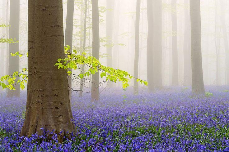 El bosque místico Hallerbos en Bélgica