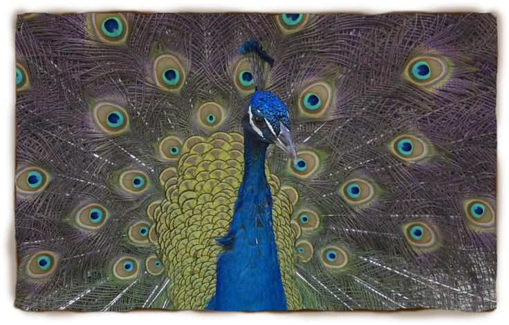Peacock Facts For Kids: Peacock, Peacock Pictures | San Diego Zoo - Kids | San Diego Zoo - Kids, other animals too!