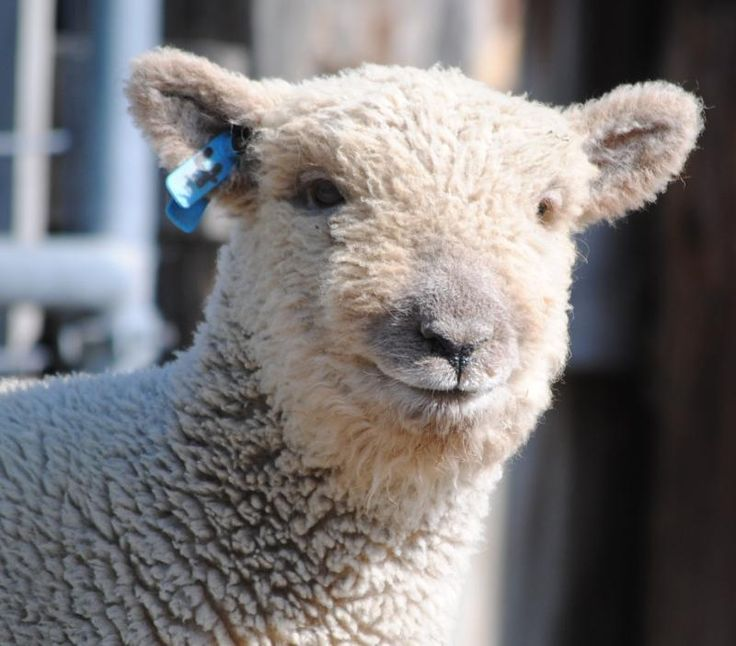 17 Best images about NABSSAR - white babydoll sheep on ...