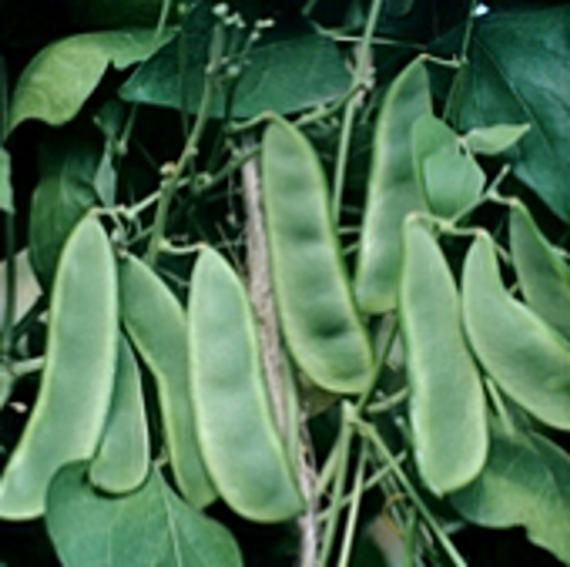 Early Thorogreen Bush Lima Beans Seeds In 2021 Lima Beans Seeds Bean Seeds