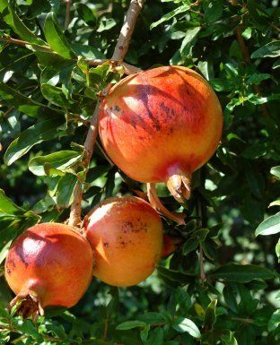 This is a guide about growing pomegranates. If you live in the right area a pomegranate tree can be a wonderful addition to your garden. These delectable fruit will be great to enjoy with your family and friends.