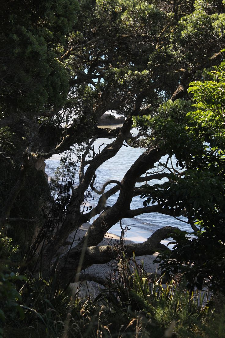 Coromandel with Pohutukawa (two)