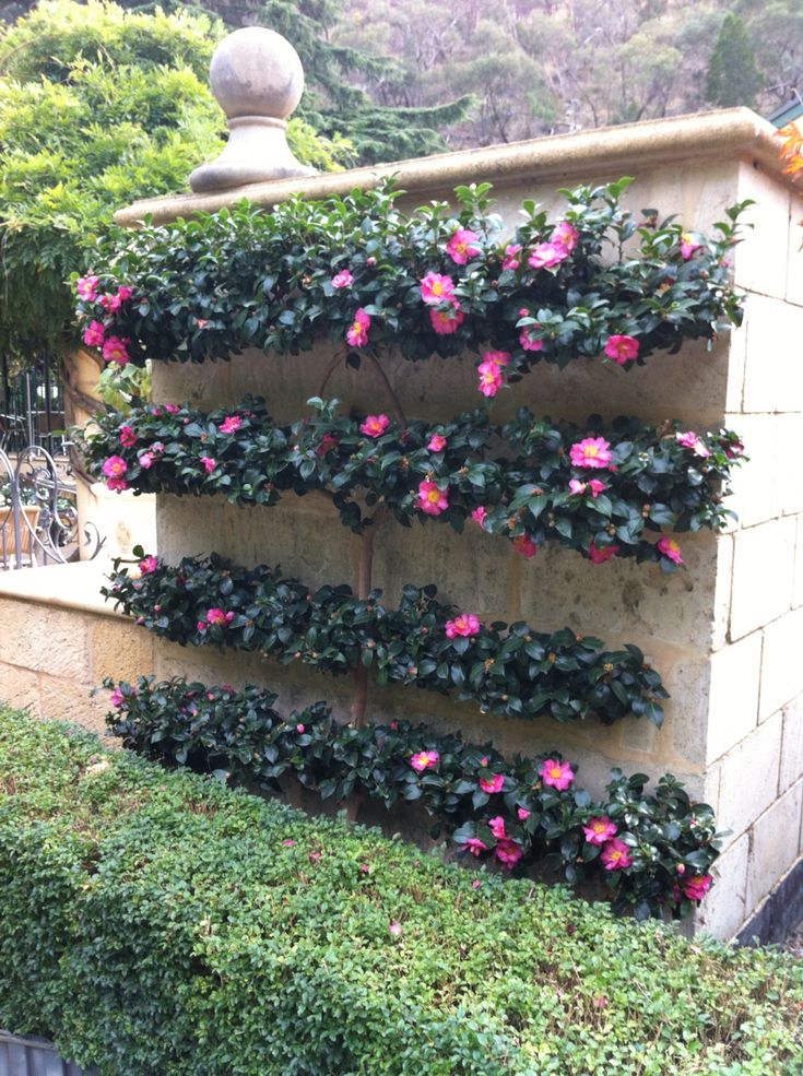 A perfect camellia sasanqua espalier create your own for Landscaping your garden