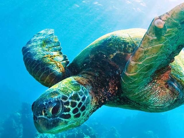 Symbolism of the Sea Turtle ... The strong and hearty Sea Turtle takes vast journeys in the sea, letting the tides take her where they will, she surrenders in infinite trust that all will be okay, and she will arrive when and where opportunity will serve her....
