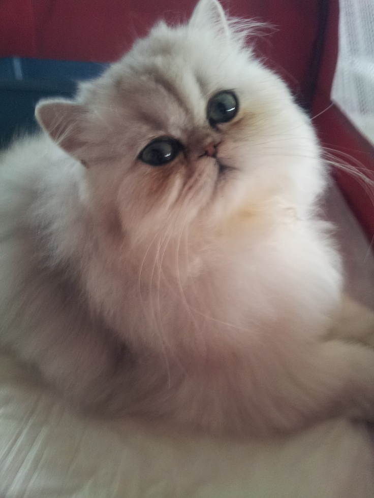 9ª e 10 ª Exposições Internacionais de Gatos de Raça – Parte 1