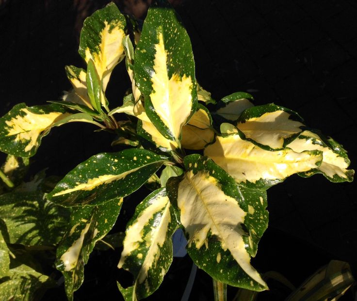 Great foliage for winter in the #garden. Aucuba Picturata