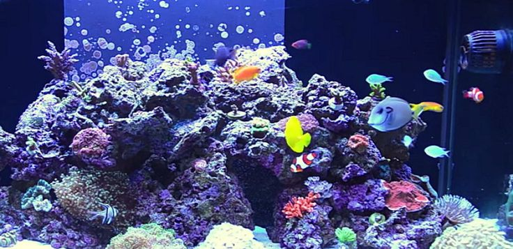Clown Fish saltwater fish tank