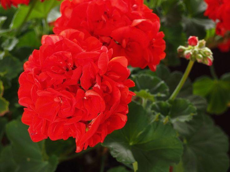 Pelargonia on helppo suosikkikasvi - näillä puutarhurin hoito-ohjeilla se kukkii komeasti | Kodin Kuvalehti