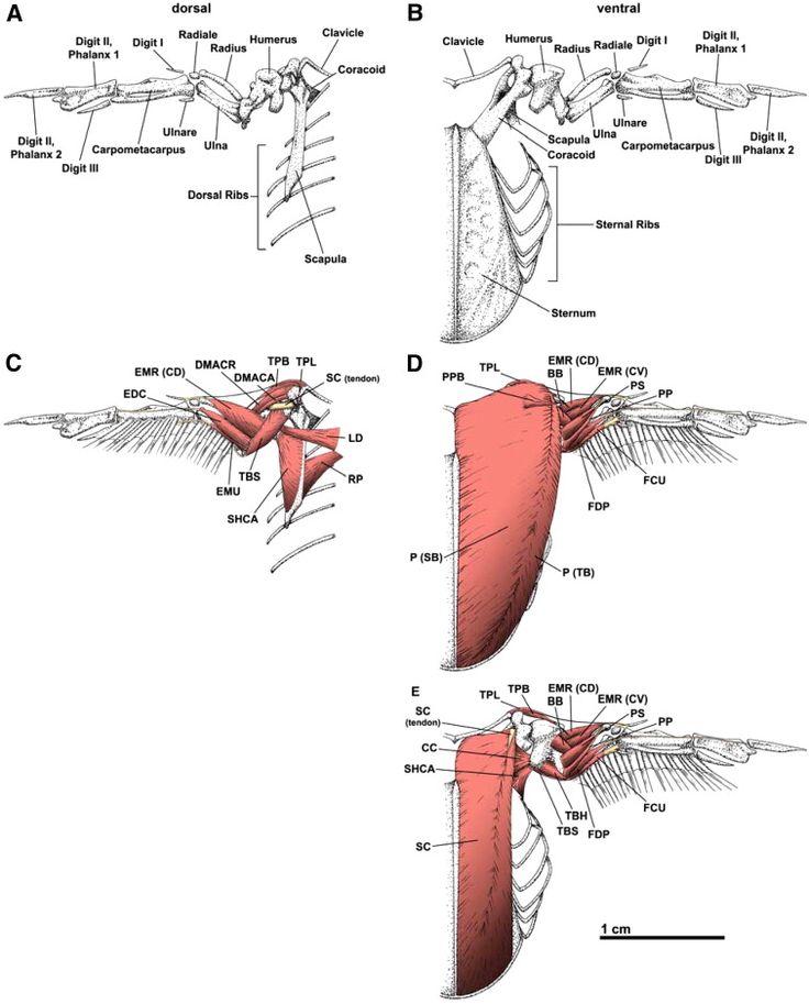 Bird Wing Skeletal Anatomy Birds Wing Anatomy Illustration Stock