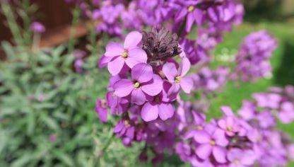 El alelí, planta de finales de invierno