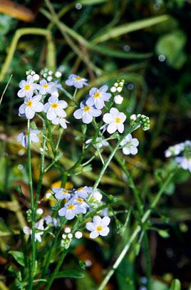 water forget-me-not (Myosotis scorpioides), full sun or partial shade, flowers in summer, sand, clay or loam soil, poorly-drained.