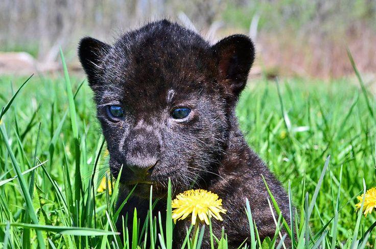 The local wild animal park just got a baby jaguar! http://ift.tt/2pcS56m