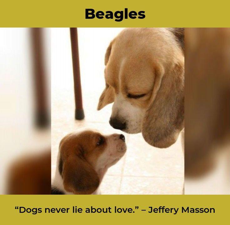 Beagle Puppies Beaglelife Beagles Mix Beagle Puppy Beagle Dog