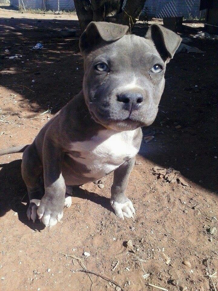 Blue blue-nose pitbull puppy playing in dirt | Pit Bulls ...