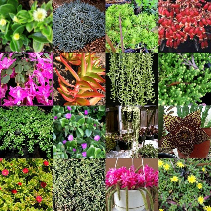 20 Hanging Basket Succulent Cuttings NO Pots Drought Hardy Plant Succulents   eBay