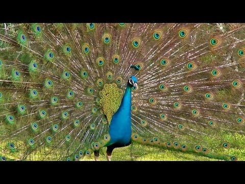 The Most Magnificent Peacock Dance Display Ever - Peacocks Opening Feathers HD & Bird Sound - YouTube
