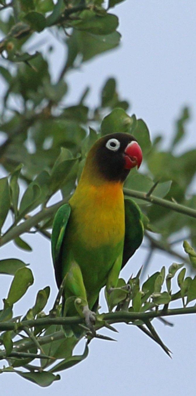 Inseparable Cabecinegro Yellow Collared Lovebird Schwarzkopfchen Inseparable Masque Love Birds Parrot