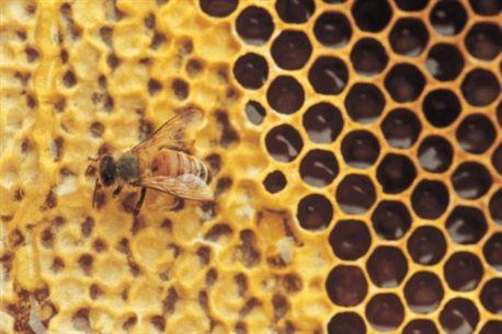 """Honung - bakteriedödande """"– Jag har själv samarbetat med de walesiska forskarna och sett deras resultat. Utifrån dem kan jag avgöra att ljunghonung är precis lika bra på att döda bakterier som Manukahonung. Det är den mest medicinskt verksamma av de svenska honungssorterna."""""""