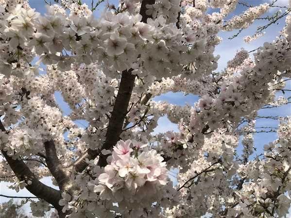 Yoshino Cherry Tree Yoshino Cherry Tree Flowering Cherry Tree Cherry Blossom Festival