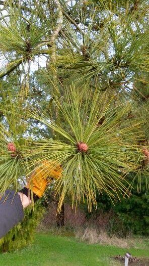 Nåle Pinus jeffreii