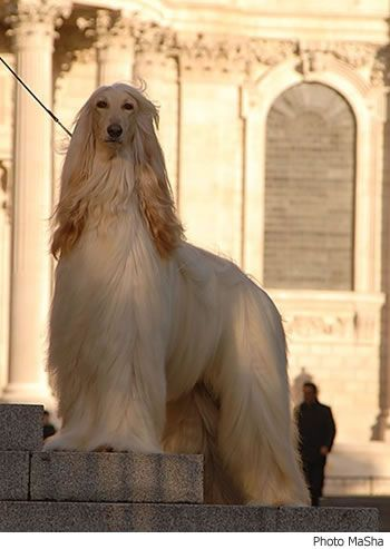 Afghan hound. (I bet it forgets it's a dog all the time.)