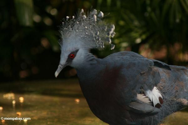 Victoria Crowned Pigeon, another beauty, would love to see this guy fluff  up and strut about