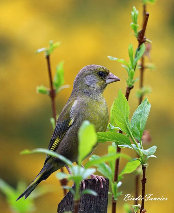 #birdiefancier #wildbirds #feeders #Greenfinch is a well-known bird as it often visits gardens and drives other birds away from feeders!