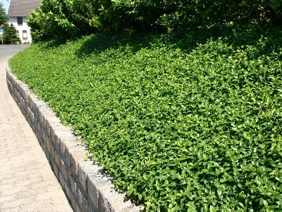 Vinca minor ground cover for the steep slopes