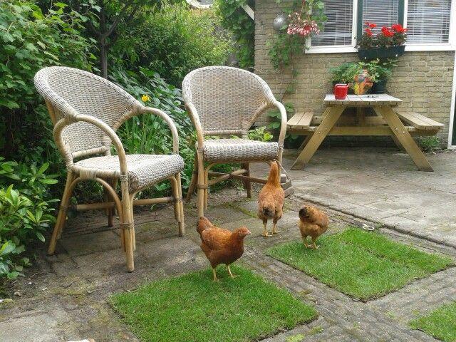 Onze new hamshire kriel kippen .