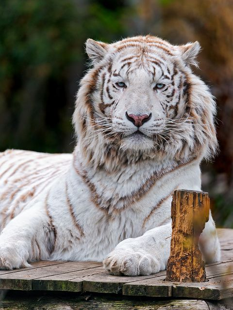 Posing white tiger by Tambako the Jaguar, via Flickr