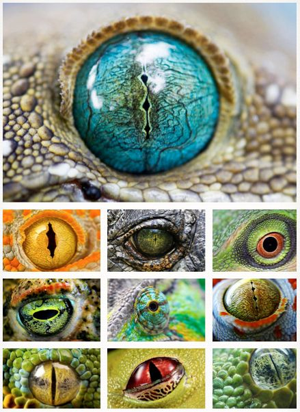 eyes of amphibians and reptiles.