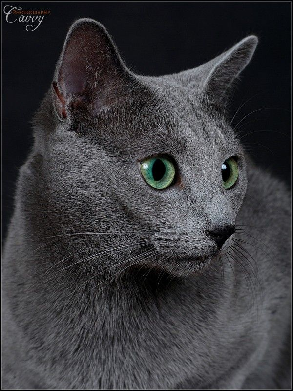 I've wanted a Russian Blue cat for the longest time!