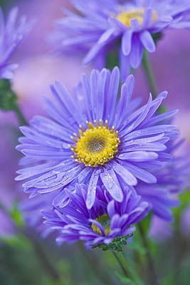 Clive Nichols -OLD COURT NURSERIES AND THE PICTON GARDEN, WORCESTERSHIRE: PURPLE/ BLUE FLOWER OF ASTER AMELLUS 'GRUNDER' - MICHAELMAS DAISY