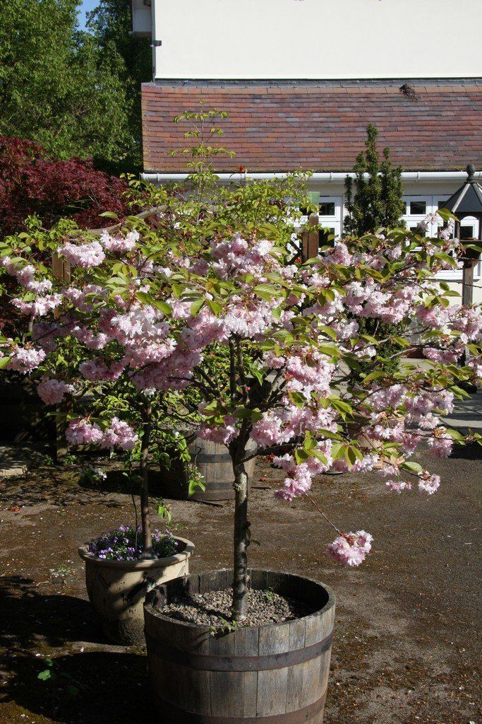 Image Result For Prunus Little Pink Perfection Tree Prunus Cherry Plant Blossom Trees