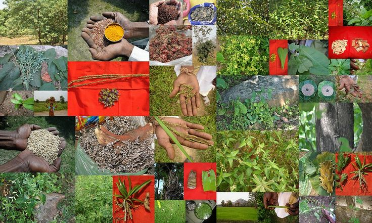 Medicinal Rice based Tribal Medicines for Diabetes Complications and Metabolic Disorders (TH Group-640) from Pankaj Oudhia's Medicinal Plant Database