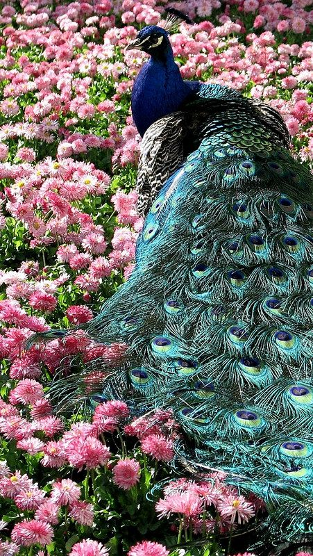 17 Best Images About Birds Peacocks In All Colors On