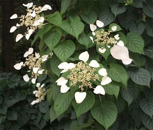 Climbing-Hydrangea-H-anomala-ssp-petiolaris-Seed