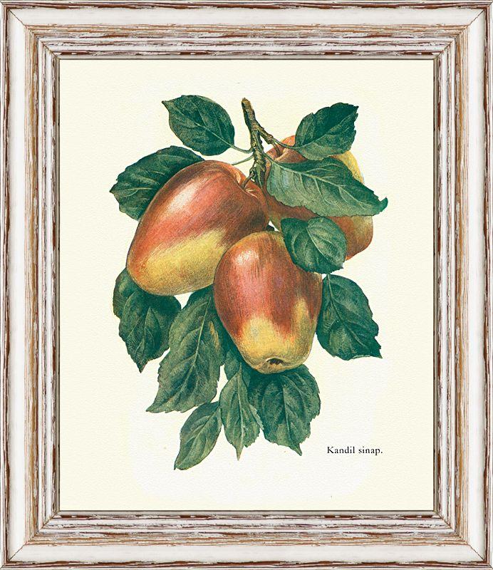 Jabklo Kandil Sinap, stará odrůda, kresba z konce 19. století