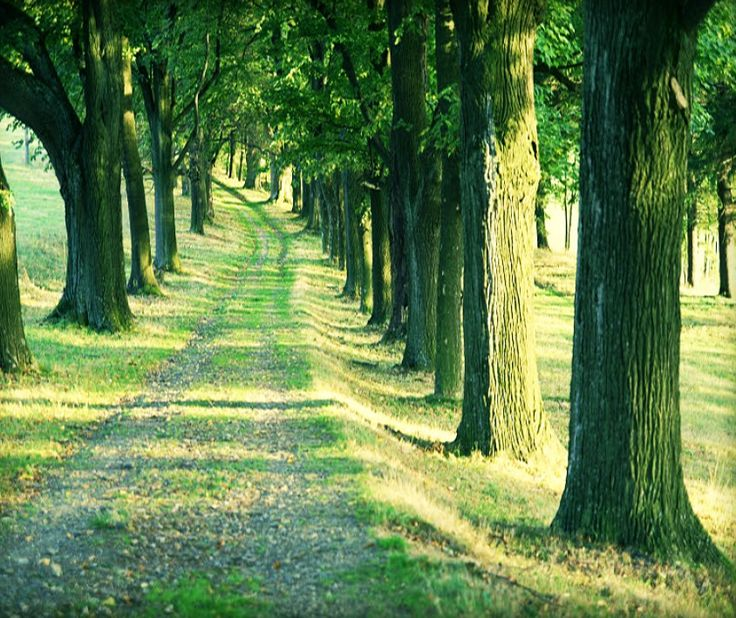 Typical field road alley in Czechia #nature #Czechia #trees