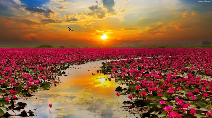 Zbiornik, Wodny, Staw, Kwiaty, Lotosu, Wschód, Słońca, Ptak, Tajlandia