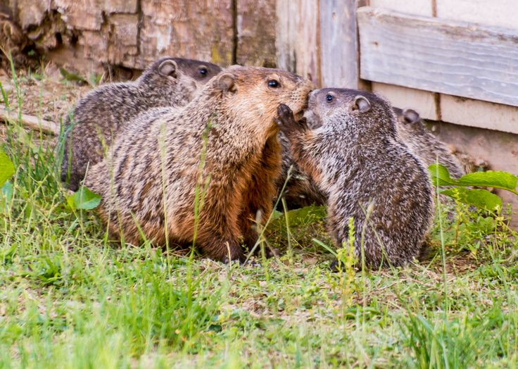 """This photo just warmed our hearts! We love the story behind it too. Photographer Larry Keller writes, """"For the past six or eight years, we have had a family of groundhogs under our tractor shed... On May 26th, the mother brought her litter of five out into the yard for the first time."""" And he captured this wonderful moment of interaction between one of the babies and the mother. (Don't worry if you find yourself making squee noises; we did too.)"""