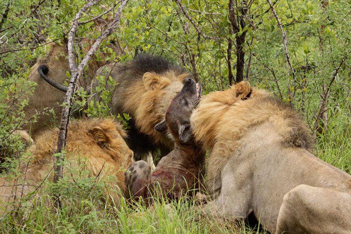 4 Majingilane lion males kill a hyena | Out of Africa ...