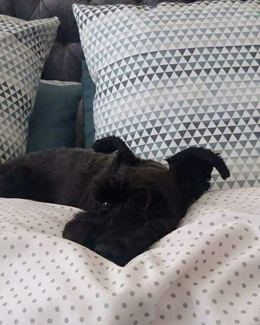 Layla(Miniature Schnauzer) taking a nap