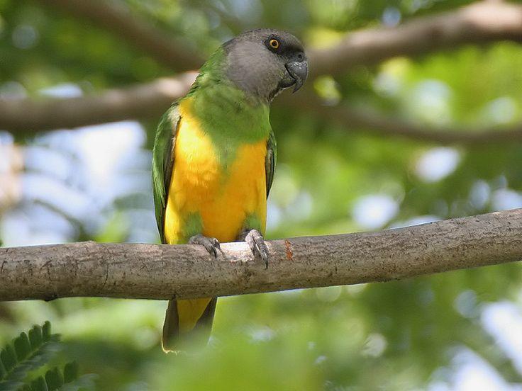Senegal papegaai - Bonte boer - Afrikaanse papegaaien
