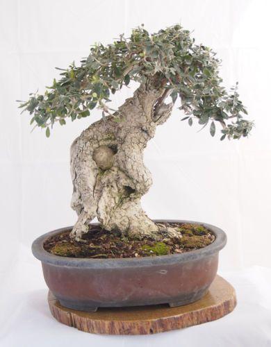 Olivo-acebuche-Olea-europaea-var-sylvestris-25-semillas-bonsai-seeds