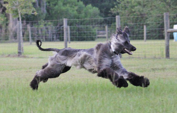 Baby boi lure coursing | Afghan Hound Mihdian's Lonesome ... Afghan Hound Lure Coursing