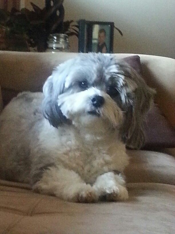 22 Best Toby Haircut Ideas Images On Pinterest Shih