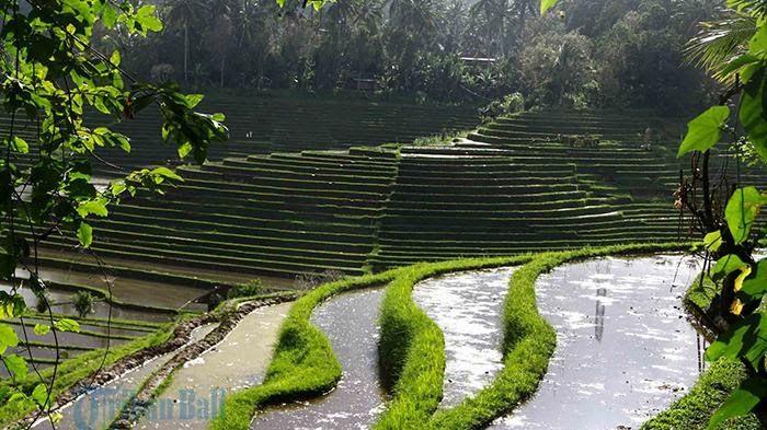 32 Foto Pemandangan Sawah Di Bali Bali Bukan Hanya Pantai Datang Dan Nikmati Hamparan Sawah Sumber Www Tribunnews Com Jatiluwih Ubu Di 2020 Pemandangan Bali Ubud